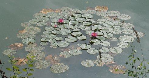 In waterlillies leaves show some characteristics of social behavior