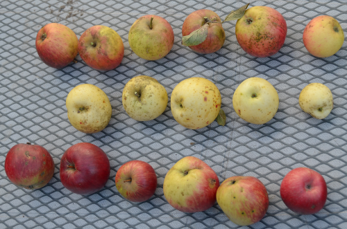 Though different in size and shape they are collectively named apples