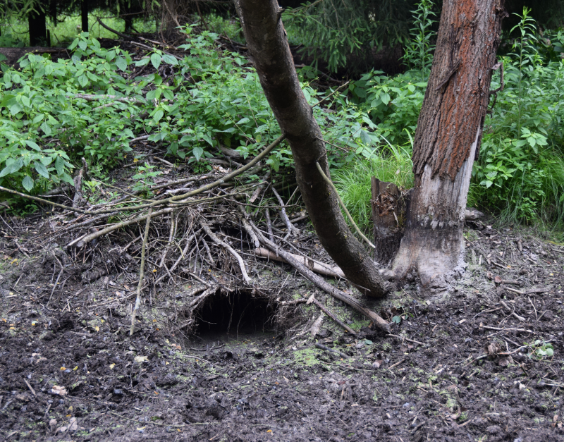 This entrance to the beaver lodge is now visible as the water was drained off.