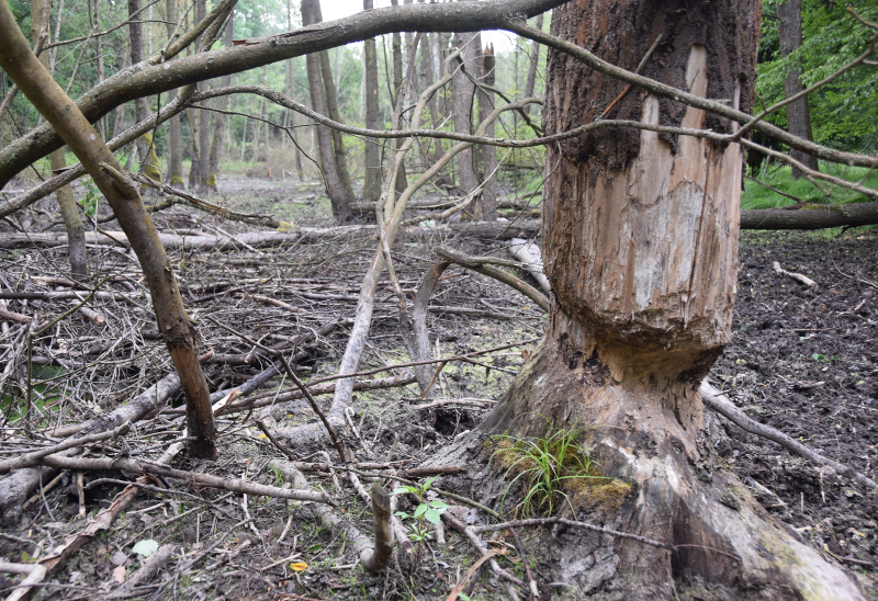 A solitary tree processed by beaver teeth in a now dry beaver pond.